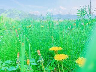 風景,空,春,屋外,緑,草原,晴天,山,景色,たんぽぽ,黄,草木