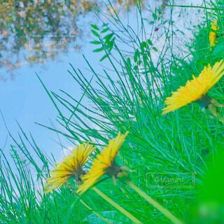 風景,空,花,春,屋外,緑,草原,晴天,山,景色,野原,たんぽぽ,黄,草木
