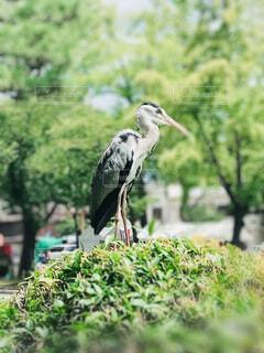 自然,動物,鳥,屋外,緑,晴天,散歩,草,立つ,出会い,くちばし,水鳥,黒鷺