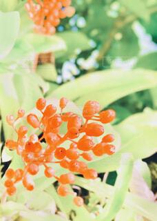 自然,屋外,緑,植物,赤,かわいい,葉,オレンジ,草花,実,草木