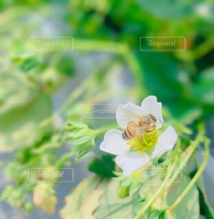 花,春,屋外,いちご,苺,薔薇,蜂,虫,ハウス,昆虫,仕事,栽培,ミツバチ,ハチ,草木,蜜,いちごつみ
