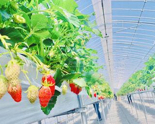 空,花,緑,赤,水色,いちご,苺,果物,ハウス,休日,レジャー,栽培,食べ放題,体験,苺つみ,いちご摘み