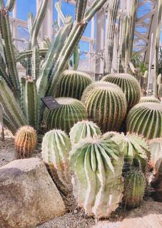 植物園のサボテンの写真・画像素材[4373990]