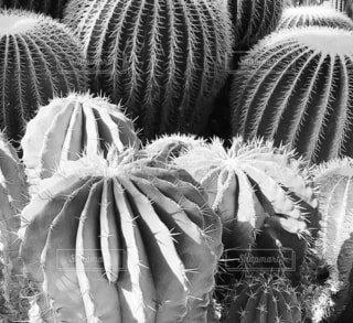 屋内,屋外,モノクロ,白黒,影,癒し,丸,ハウス,サボテン,休日,レジャー,デート,多肉植物,植物園,草木,熱帯,とげ,黒と白,陸生植物,月光サボテン,ナデシコ目