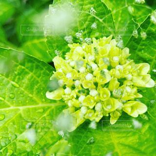 緑の紫陽花のクローズアップの写真・画像素材[4534611]