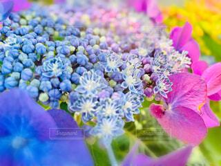 カラフルな紫陽花のズームアップの写真・画像素材[4570093]