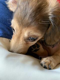 犬,動物,屋内,かわいい,茶色,景色,子犬,後背位,恥ずかしがり屋のダックスくん