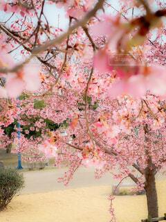 公園,花,桜,屋外,ピンク,芝,河津桜,草木