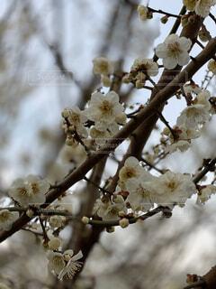 空,花,春,桜,屋外,枝,樹木,ボケ,ブロッサム,支店