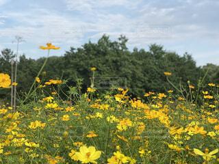 空,花,屋外,ひまわり,黄色,景色,草,草木,ワイルドフラワー,広葉