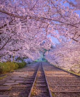 桜道の下を通る線路の写真・画像素材[4324524]