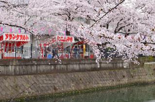花,春,桜,屋外,屋台,川,サクラ,満開,樹木,日本,祭り,お祭り,河川,和,祭,桜祭り,デート,出店,さくら,桜まつり