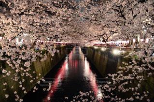花,春,桜,湖,幻想的,川,水面,夜桜,サクラ,ライトアップ,トンネル,日本,アーチ,河川,デート,さくら