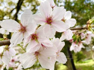 花,春,桜,屋外,散歩,樹木,新生活,草木,ブルーム,ブロッサム