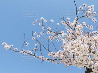 空,花,春,桜,屋外,青空,樹木,快晴,草木,ブロッサム