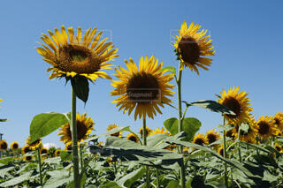 空,花,夏,ひまわり,晴れ,ひまわり畑