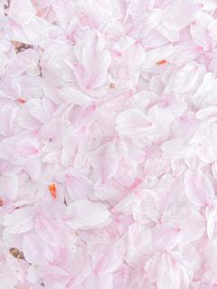 花,屋内,ピンク,花びら,ライラック,パステル,草木,ブルーム,ブロッサム