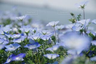 自然,花,ネモフィラ,草木,フローラ