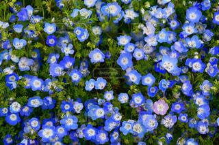 自然,風景,空,花,春,花畑,青空,青,フラワー,季節,景色,ネモフィラ