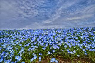 自然,風景,空,花,春,花畑,青空,青,季節,景色,ネモフィラ