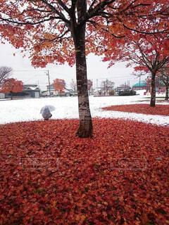 自然,公園,花,秋,桜,雪,屋外,赤,白,葉,反射,樹木,生物,地面,コントラスト,カエデ