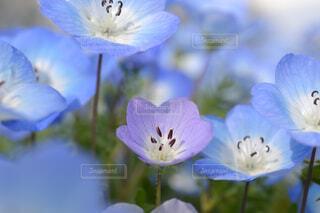自然,風景,花,青,紫,お花,ネモフィラ,草木,フローラ