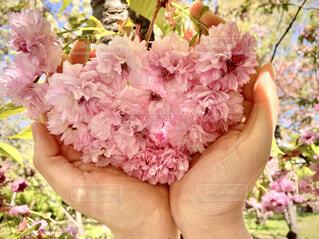 花,春,桜,ピンク,花束,きれい,綺麗,手,サクラ,ふわふわ,眩しい,八重桜,草木,八重,さくら,キレイ,ブルーム,ひらひら,ブロッサム