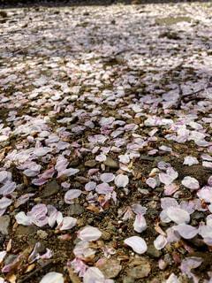 春,桜,花びら,地面