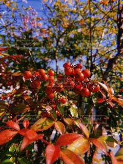 食べ物,秋,屋外,葉,果物,樹木,草木,果樹