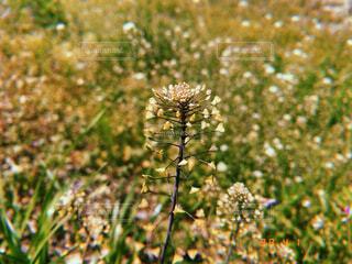 花,草木,なずな