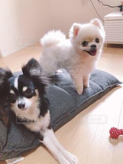 犬,動物,屋内,白,かわいい,子犬