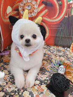 犬,動物,ポメラニアン,屋内,かわいい,ペット,小型犬,新年,丑年