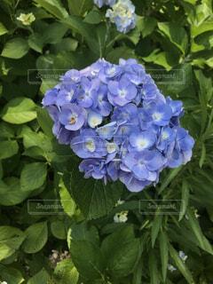 花,屋外,緑,紫陽花,草木,ガーデン,フローラ