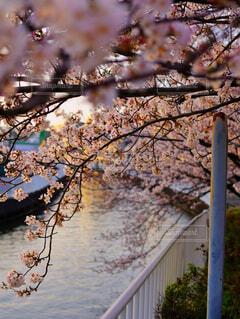 花,春,屋外,樹木,さくら,ブロッサム