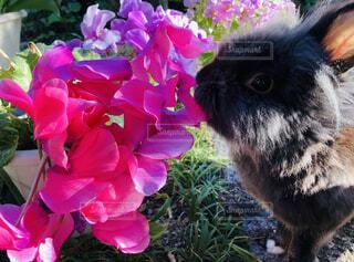 花,動物,うさぎ,屋外,ピンク,草,草木,ウサギ,シクラメン,黒うさぎ