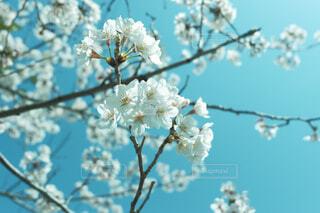空,花,春,屋外,青空,花見,樹木,桜の花,晴れの日,さくら