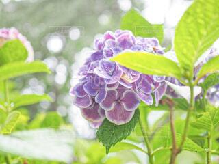 花,屋内,雨,屋外,植物,あじさい,葉,紫陽花,雫,草木,アジサイ