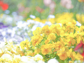 黄色のパンジーの写真・画像素材[4348884]