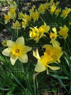 花,水仙,草木,フローラ
