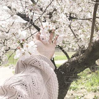 花,春,屋外,きれい,樹木,さくら