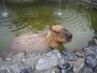 温泉,動物,屋外,湖,水族館,水面,岩,動物園,カピバラ