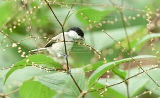 自然,動物,鳥,野生動物,屋外,緑,北海道,樹木,草木,シジュウカラ