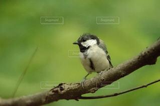 自然,動物,鳥,野生動物,屋外,緑,北海道,樹木,座る,スズメ,シジュウカラ