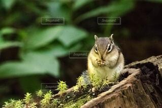 自然,動物,食事,森林,野生動物,屋外,かわいい,北海道,座る,リス,小動物,草木
