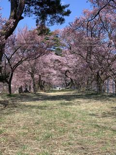 公園,花,春,屋外,景色,草,樹木,草木,さくら,ブロッサム