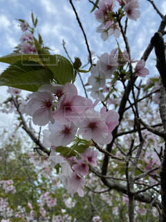 花,春,屋外,樹木,草木,桜の花,さくら,ブルーム,ブロッサム,フローラ