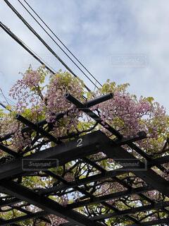 空,花,屋外,藤,樹木,ブロッサム