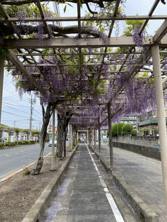 花,屋外,藤,樹木,都会,街路樹,草木,日本一