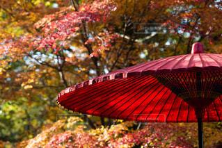 花,秋,アクセサリー,傘,屋外,赤,葉,樹木,カラー