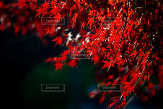 花,秋,紅葉,葉,景色,樹木,景観,草木,カエデ,モミジ
